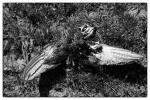 Dead Bird Watermark