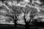 Twin Trees Silhouette