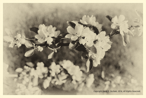 apple blossom, poetry